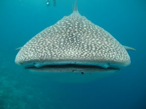 Whale shark Port Barton - San Vicente